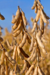 Soybeans Used for Manufacturing Soy-Based Ink